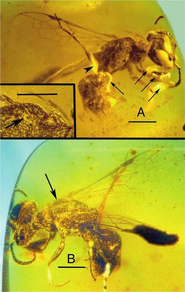 Обнаружена древнейшая пчела с прилипшей пыльцой и паразитами