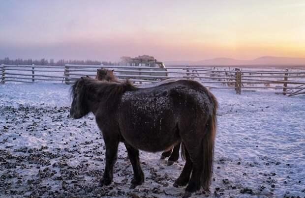 И якутские лошади смогли адаптироваться к экстремальной окружающей среде Порода, животные, лошадь, россия, саха, фото, якут, якутия