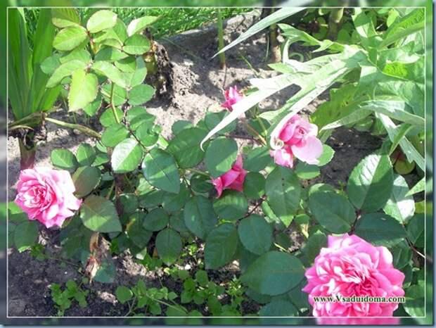 Выращивание роз — храним зимой и сажаем весной