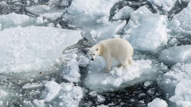 ВАрктике началось масштабное исследование животных