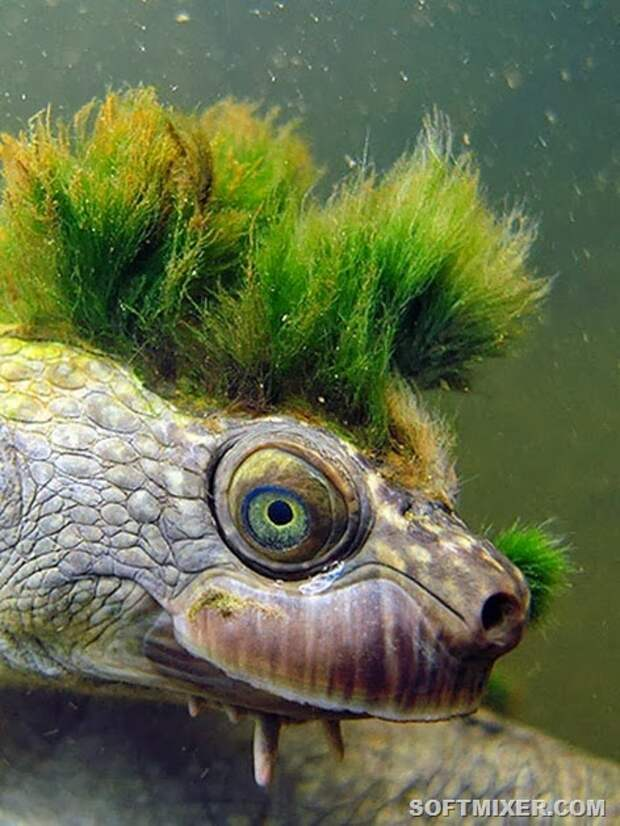 mary-river-turtle-pic1