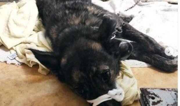 Сбили возле Фетисов-арены: воВладивостоке спасли собаку страссы