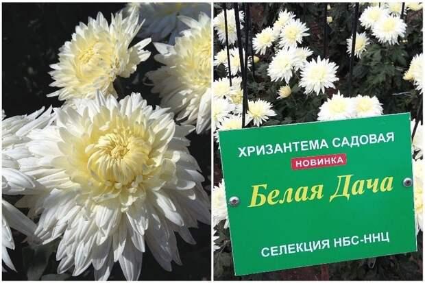 Участницу крымского Бала хризантем назвали в честь дачи Чехова