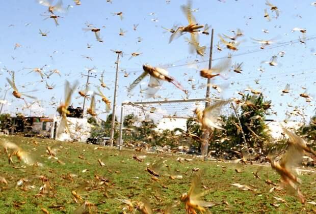 Нашествие саранчи уничтожило весь наш огород.