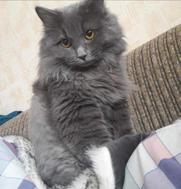 Британский котёнок лежал в траве возле моего дома, я взяла его домой и не разу ни пожалела