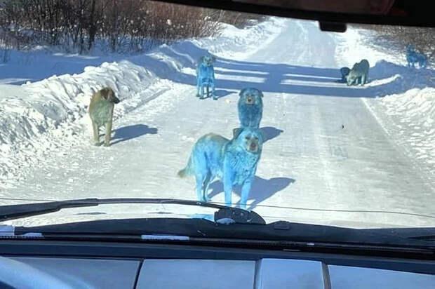 Нашествие синих собак в Дзержинске и зелёных в Подольске. Что случилось с разноцветными животными на самом деле?