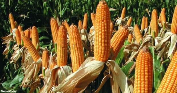 Спустя 20 лет и 6000 исследований выяснилось, что ГМО - это вообще полезно!