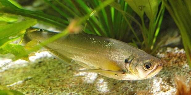 Белок рыбы-вампира поможет людям победить депрессию