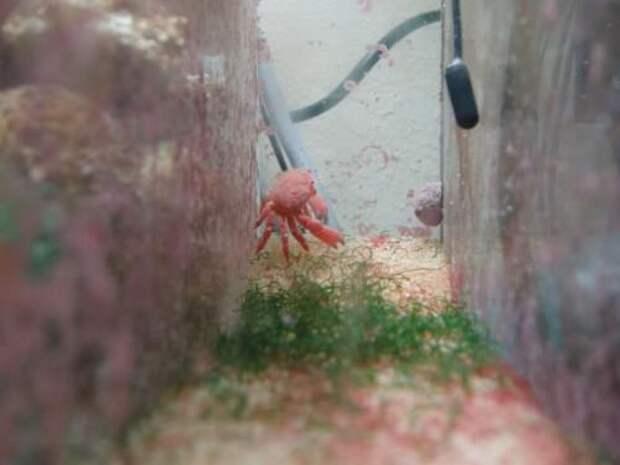 Клубничный краб (англ. Strawberry crab)