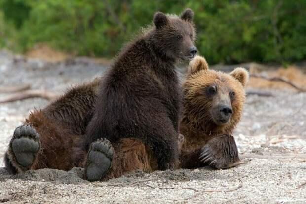 Медведица решила выйти к людям, чтобы спасти своих малышей