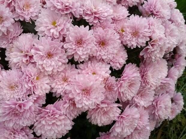 При правильном уходе хризантема даст пышное цветение