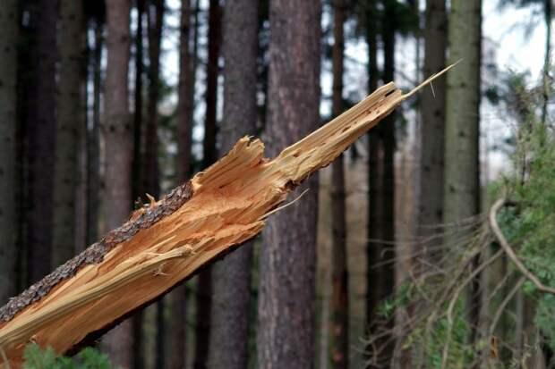 Никто не пострадал после обрушения дерева на Ленинградке