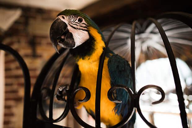 Пенсионерка научила попугая петь арии