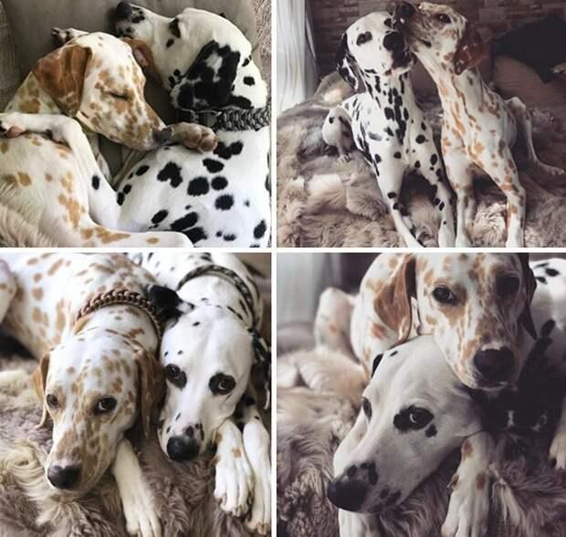 10. Это Кхалиси и Джанго. Они вместе два года. Идеальная щенячья парочка. 14/10 каждому животные, оценка, популярный, собака, собаки, соцсети, твиттер, юмор