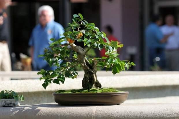 Суринамская вишня, или Питанга, или Евгения одноцветковая (Eugenia uniflora)