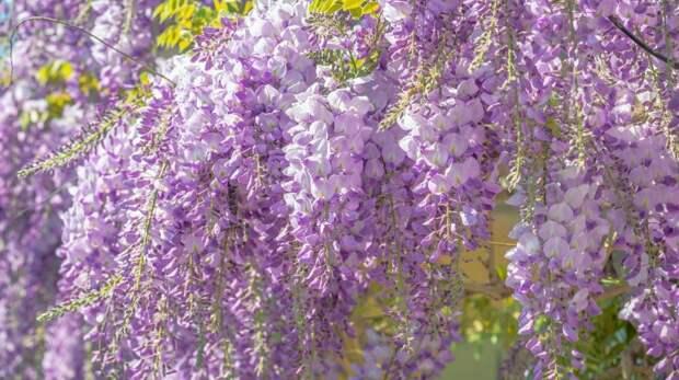 Ялтинцев приглашают создать карту цветения глицинии