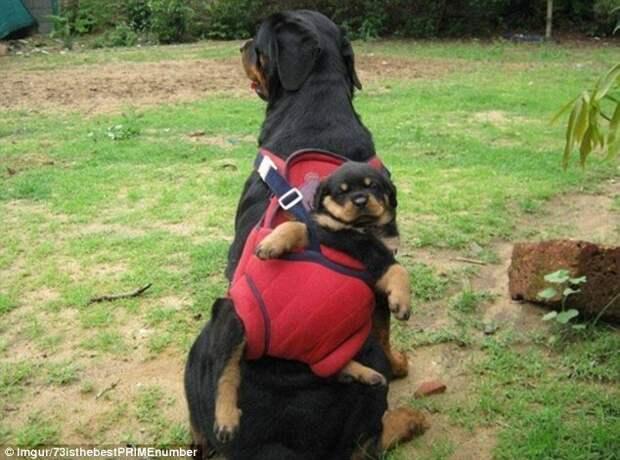 3. Забавные фотографии, домашние животные, животные прикол, кошки, переноска, собака в сумке, собаки, фото собак