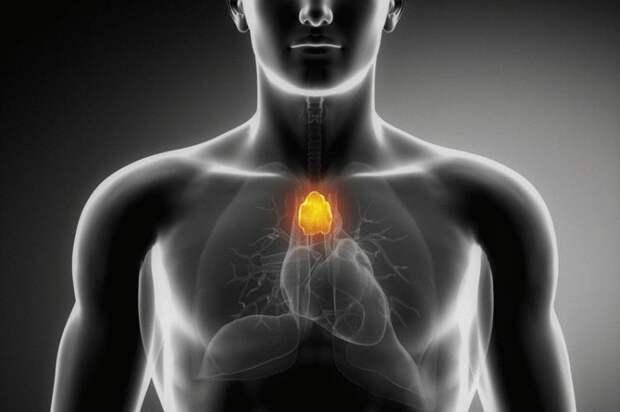 Вилочковая железа — точка счастья Вашего тела