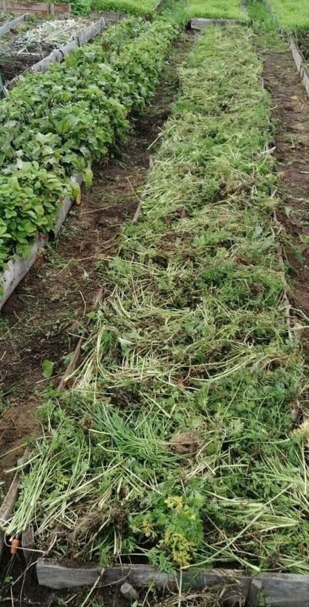 20 ведер моркови с одной гряды 10м