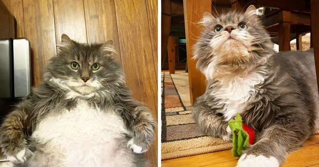 Очень толстый кот Уилфорд — почти 13 кило милоты в поисках нового дома