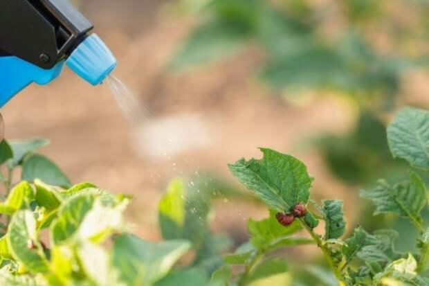 Опрыскивание картофеля от личинок колорадского жука