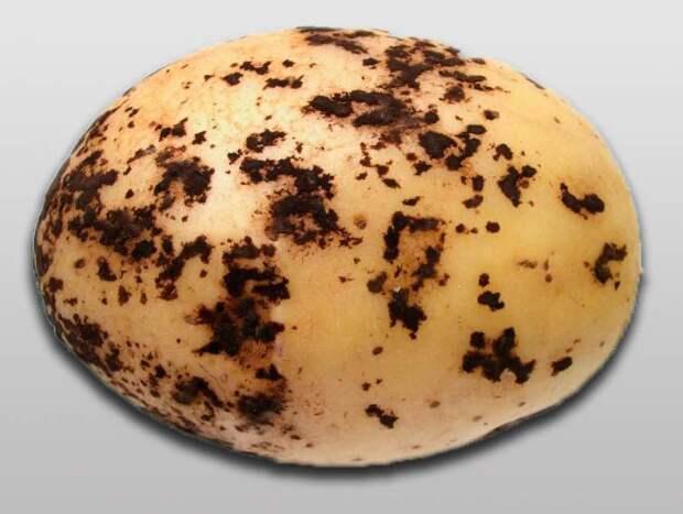 Черная парша: картофель в бородавках