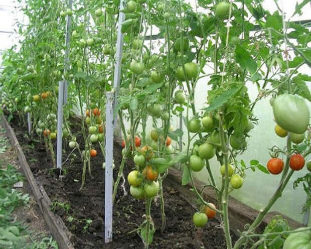 Когда и как обрывать нижние листья у томатов в теплице — схема обрезки