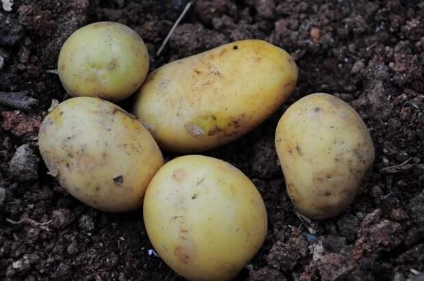 Без всяких удобрений — провернете сейчас 1 хитрость и урожай картошки увеличится на 100%