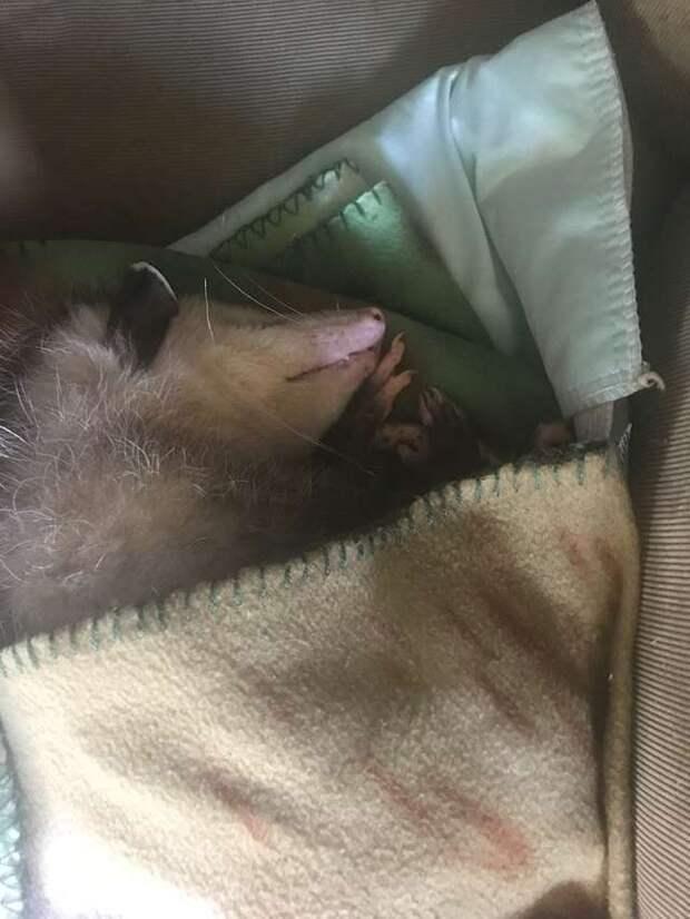 спящий опоссум