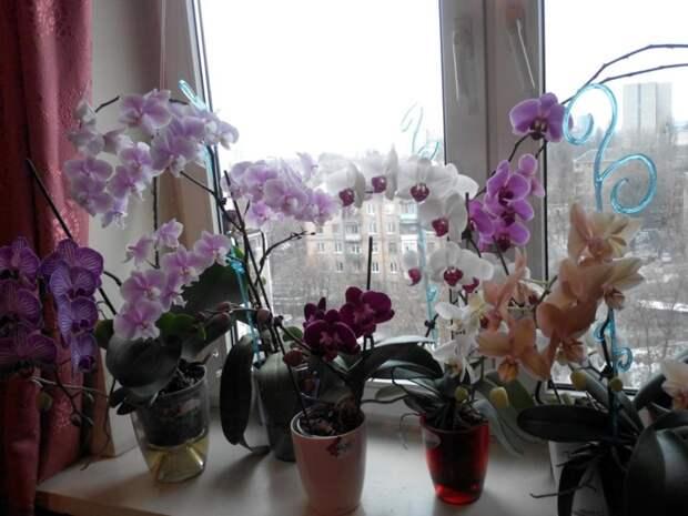 Специалисты по фен-шуй считают, что орхидея — одно из самых неподходящих растений для выращивания дома. истории, опасность, орхидея, цветы