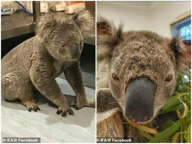Храбрый пёс спасает коал из пожаров