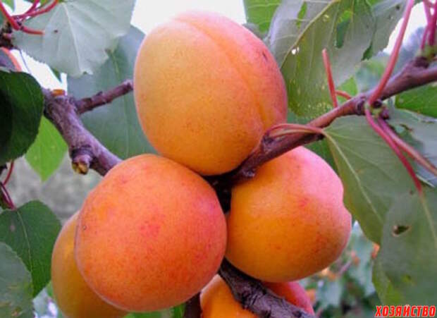 Новые сорта плодовых культур, которые стоит испытать на своем участке