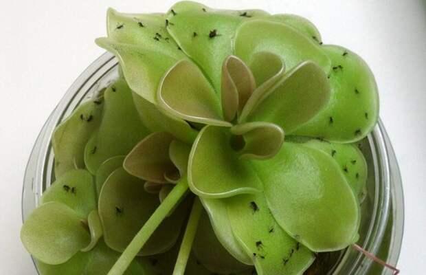 Если мошки атакуют: как избавить домашние растения от надоедливых насекомых