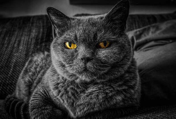 На фото изображен серый кот с желтыми глазами.