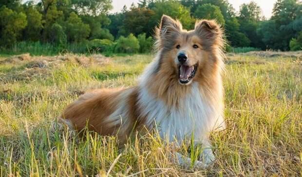 Лесси, как же так? Ученые выявили самые агрессивные породы собак