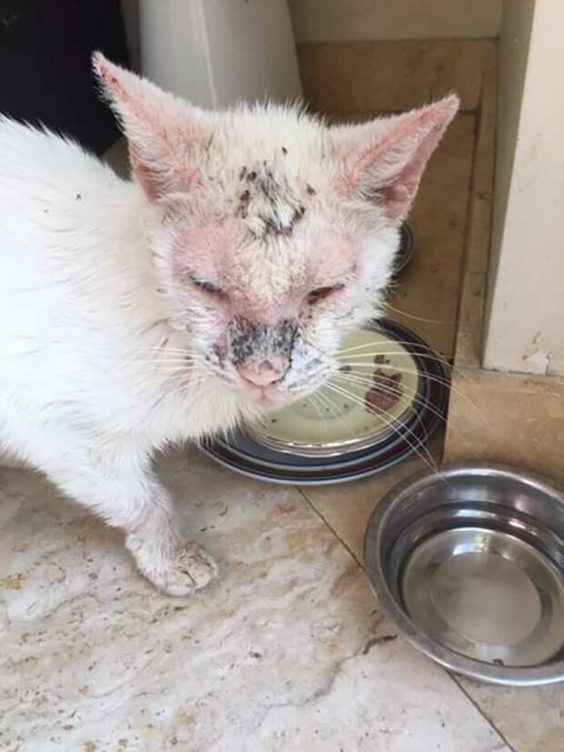 Изначально ветеринары думали, что котик ослеп, но после курса процедур случилось чудо - он начал открывать поврежденные глазки до и после, животные, истории, история спасения, коты, кошки, трогательно