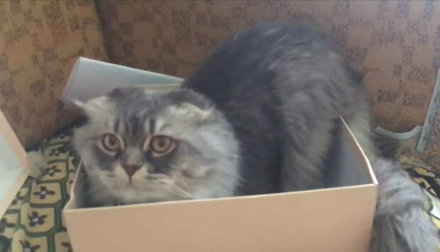 Котёнок хайлендер фолд бегал по дороге между машинами, ловила его пол часа, и теперь у меня дома шикарный, пушистый кот