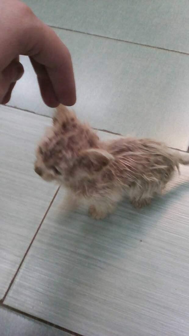 Спасение крошечного облепленного блохами котенка