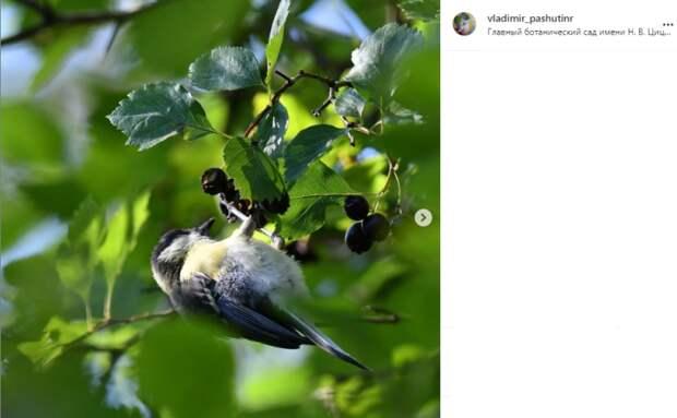 Фото дня: синица полакомилась рябиной в Ботаническом саду