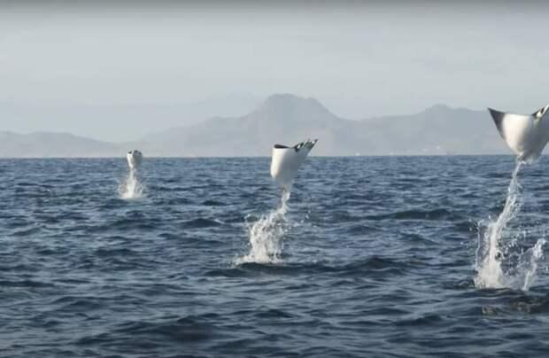 На видео сняли удивительный полет орляков: как живут скаты, которые могут летать