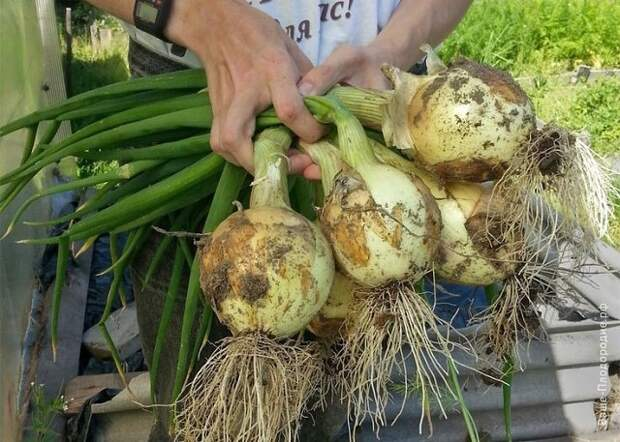 Большой урожай лука каждый год: 4 простых совета от огородника со стажем