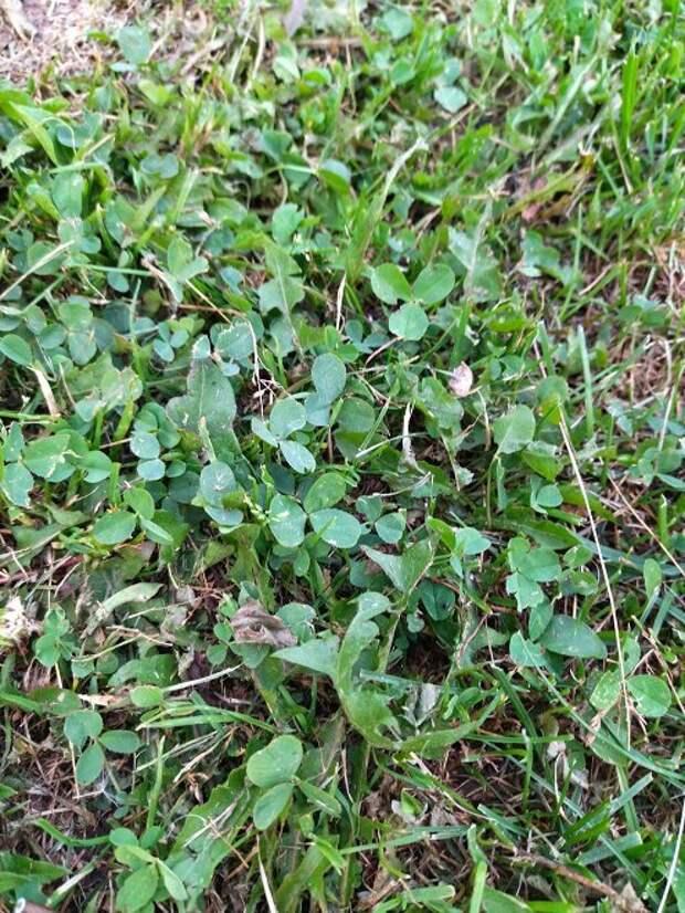 Посеяли вместо газонной травы клевер и очень довольны - никакого сравнения