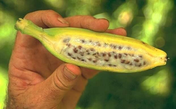 Так выглядит дикий банан