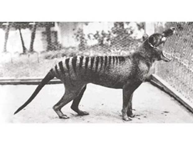 О тасманском тигре, которого профукали 100 лет назад...