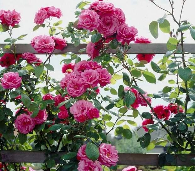 Плетистую розу высаживают возле заборов, пергол или арок