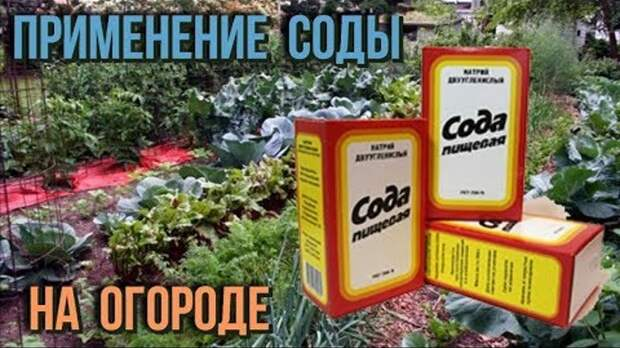 Сода на огороде и другие полезные советы дачнику