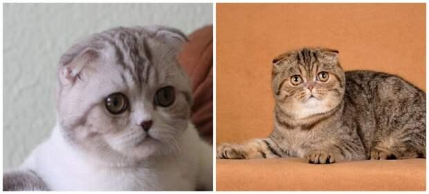 Порода кошек Флэппиг