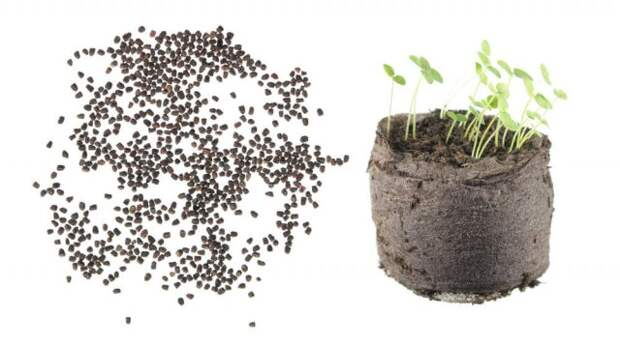 Семена львиного зева и всходы в торфяной таблетке