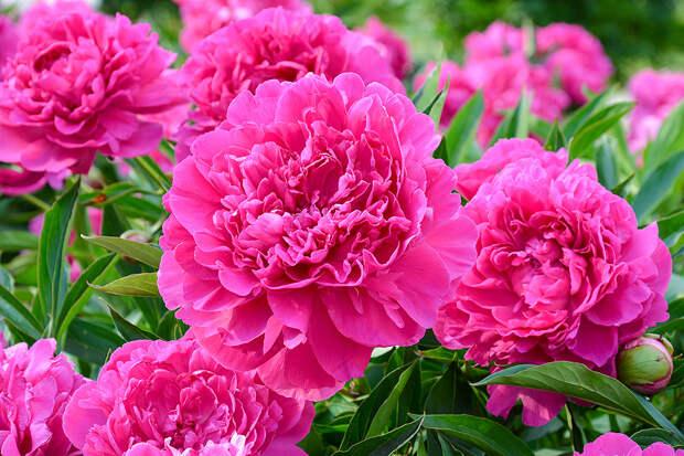 Как улучшить и продлить цветение пионов