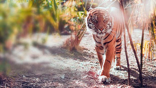 По следам амурского тигра